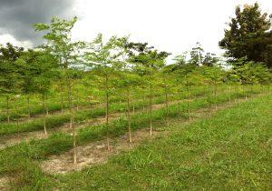 Orchard Moringa Best