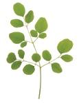 moringa-leaf_1024