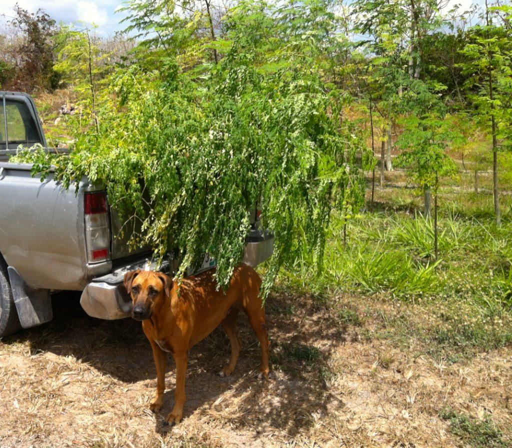 Truck w Moringa Dog